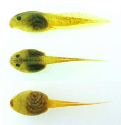 tadpole specimen